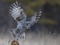 Great grey owls seen in N China's Inner Mongolia